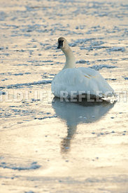 trumpeter_swan_sitting_ice_twilight_vertical20120101_0007