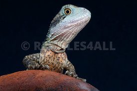Australian water dragon (Intellagama lesueurii)