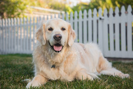 Smiling Golden Retriever Laying on Grass in Front of White Picket Fence