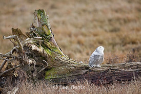 Snowy Owl Alert to Bald Eagle Threat at Boundary Bay