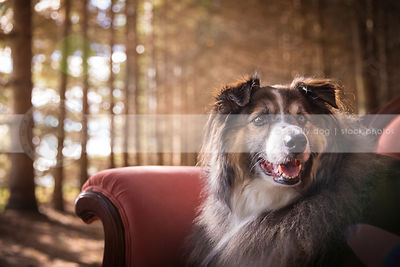 portrait of alert longhaired dog on pink settee in pine forest