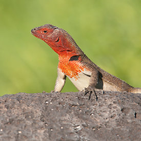 Lava Lizard wildlife photos