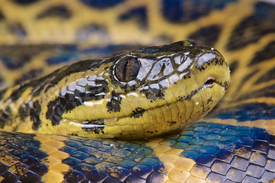 Yellow anaconda (Eunectes notaeus) photos