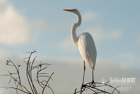 White Egret - Can you see me?