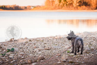 little brindle scruffy terrier dog standing alone on beach