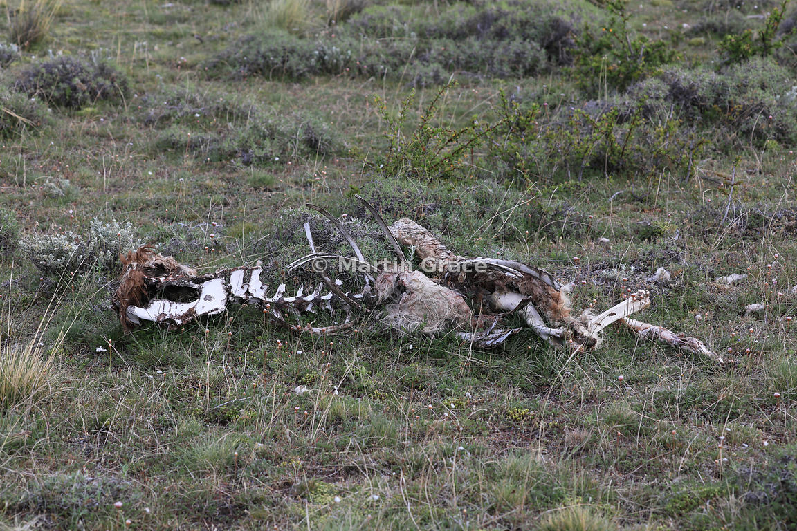 Remains of a Guanaco (Lama guanicoe) that has been killed by a Puma and picked clean by scavengers, Torres del Paine, Patagonia, Region XII Magallanes y Antartica chilena, Chile