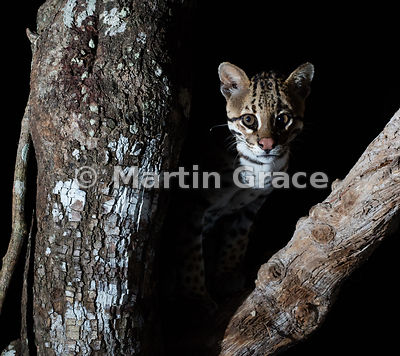 Ocelot (Leopardus (Felis) pardalis), Northern Pantanal, Mato Grosso, Brazil: alternative crop of the previous image