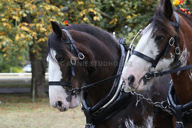 HOY_230314_clydesdales_3588