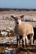 Crossbred lamb in late spring snow - Co. Durham