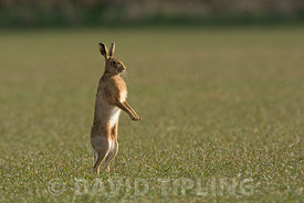 Brown Hare Lepus europaeus Norfolk March