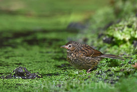 Dunnock Prunella modularis juvenile August Norfolk