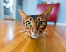 Wide-angle close-up of Abyssinian cat in contemporary home looking right in the camera