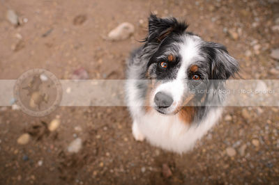 australian shepherd dog staring up from sand and stones