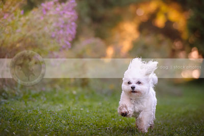 fast havanese dog running along park trail
