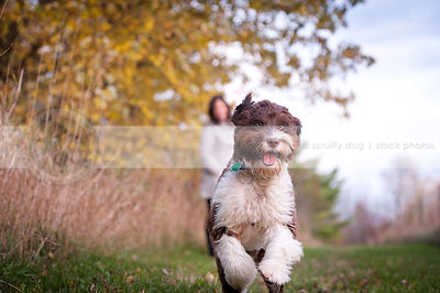 brown and white portuguese water dog running to camera