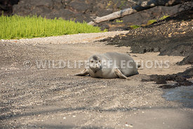 hawaiian_monk_seal_big_island_02062015-146