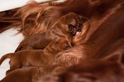 Three day old Irish Setter puppies suckling