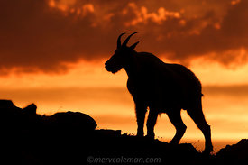 536 Mountain Goat Silhouette