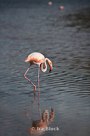 A pink flamingo walks it's way through the water off the shoreline of Floreana Island.