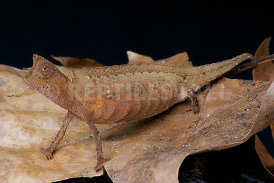 Brown leaf chameleon (Brookesia superciliaris) photos