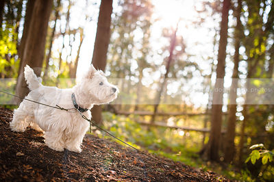 small white groomed dog standing on sunlit slope with trees