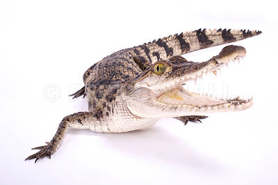 Philippine crocodile (Crocodylus mindorensis)  photos