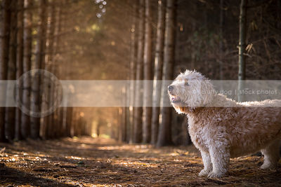 curly haired mixed breed dog standing in pine forest with sunlight