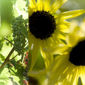 Wine Art from Napa | Yellow Sunflowers in Art | Green Grapes On Vine in Art