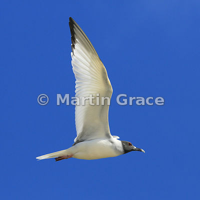 Swallow-Tailed Gull (Larus furcatus) in flight, Darwin Beach, Genovesa, Galapagos Islands