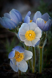 658 Pasque Flowers