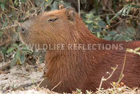 capybara_close_profile-4