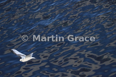Juvenile Black-Legged Kittiwake (Rissa tridactyla) in flight over an oily-looking sea, Hafnarholmi, Austurland (Eastern Region, East Iceland), Iceland