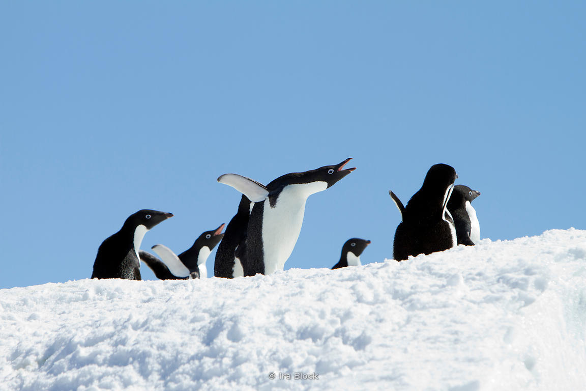 Adelie penguins found at the Antarctic Peninsula.