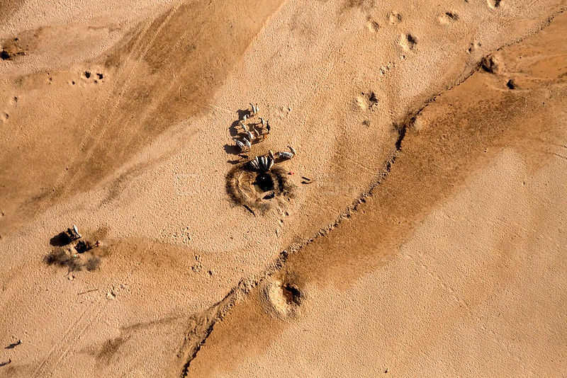 Samburu livestock, as seen from the air, illegally entering Samburu National Park searching for food and water. Holes are made in the dry Ewaso Nyiro river bed to dig out water searching for any kind of moisture for their goats and cattle. August 2009.
