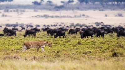 Lion Hunting With Wildebeest in Background