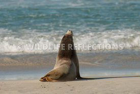 sea_lion_australian_wave_edge-2