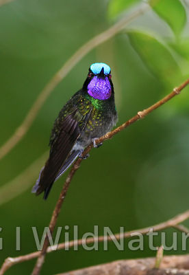 Purple-throated mountain-gem/Purpurstrupejuvel - Costa Rica