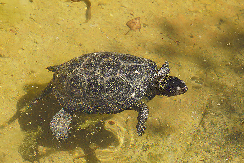 Chelonidae - Turtles - Schildpadden photos