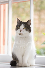 White and Grey Cat Sitting in Front of Window with Knowing Expression