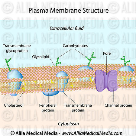 plasma membrane The seahorse xf plasma membrane permeabilizer (pmp) is an exclusive  reagent that permeabilizes the plasma membrane of intact cells in culture without .