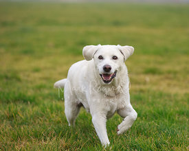White Labrador Retriever Smiling and Walking on Grass Mid-Stride