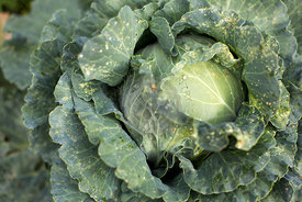 close up of a cabbage head growing in a Spanish field in Autumn.