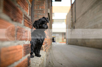 sweet little black dog looking back from door stoop in urban alley