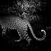 4380-Leopard_s_tail_Laurent_Baheux