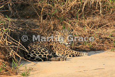 Female Jaguar 'Hunter' (Panthera onca) rests by Three Brothers River, Northern Pantanal, Mato Grosso, Brazil. Image 34 of 62; elapsed time 46mins