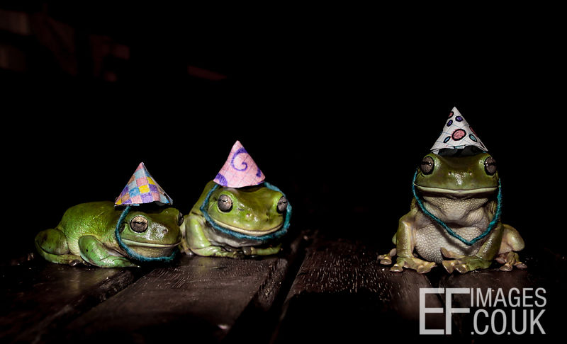 Green Tree Frogs In Hats, Frog Party