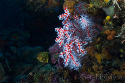 Corail rouge photos sous marines