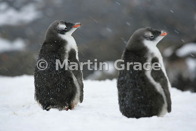 Immature Gentoo Penguins (Pygoscelis papua) in falling snow, Petermann Island, Antarctic Peninsula