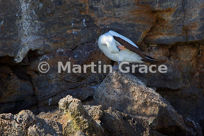 Nazca Booby (Sula granti) preening itself on the cliffs of Darwin Bay, Genovesa, Galapagos Islands