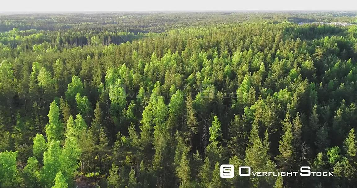 Spring Color Forest, Aerial, Drone Shot, Over Endless, Light Green Finnish Trees and Scandinavian, Green Gold Trees, on a Sunny, Summer Evening, in Finland